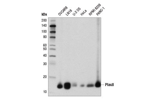 Western blot analysis of extracts from various cell lines using Plac8 (E1J2Z) Rabbit mAb.