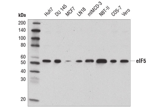 Western blot analysis of extracts from various cell lines using eIF5 (D5G9) Rabbit mAb.