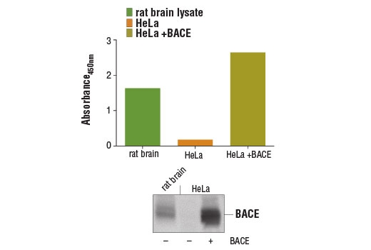 Figure 1: BACE protein was detected from rat brain lysate and HeLa cell lysates, untransfected (-) or transfected with a construct expressing BACE protein (+), using the PathScan<sup>®</sup> Total BACE Sandwich ELISA Kit #13907. The absorbance readings at 450 nm are shown in the top figure, while the corresponding western blot using BACE (D10E5) Rabbit mAb #5606 is shown in the lower figure.