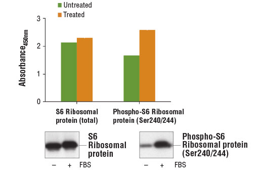 Figure 1: Serum stimulation of starved NIH/3T3 cells with 20% FBS promotes phosphorylation of S6 ribosomal protein at Ser240/244 as detected by PathScan<sup>®</sup> Phospho-S6 Ribosomal Protein (Ser240/244) Sandwich ELISA Kit #13911, but does not affect the level of total S6 ribosomal protein detected by PathScan<sup>®</sup> Total S6 Ribosomal Protein Sandwich ELISA Kit #7225. The absorbance readings at 450 nm are shown in the top of the figure while corresponding western blots using S6 Ribosomal Protein (5G10) Rabbit mAb #2217 (left) and Phospho-S6 Ribosomal Protein (Ser240/244) (D68F8) XP<sup>®</sup> Rabbit mAb #5364 (right) are shown in the bottom of the figure.