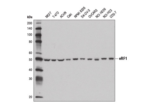 Western blot analysis of extracts from various cell lines using eRF1 Antibody.