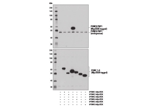 Western blot analysis of extracts from 293T cells, mock transfected (-) or transfected with constructs expressing Myc/DDK-tagged full-length human PSMC1 protein (hPSMC1-Myc/DDK; +), full-length human PSMC2 protein (hPSMC2-Myc/DDK; +), full-length human PSMC3 protein (hPSMC3-Myc/DDK; +), full-length human PSMC4 protein (hPSMC4-Myc/DDK; +), full-length human PSMC5 protein (hPSMC5-Myc/DDK; +), and full-length human PSMC6 protein (hPSMC6-Myc/DDK; +), using PSMC3/TBP1 Antibody (upper) and DYKDDDDK Tag Antibody #2368 (lower).