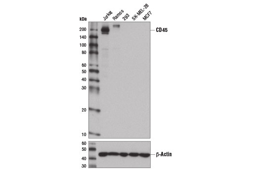 Western blot analysis of extracts from various cell lines using CD45 (D9M8I) XP<sup>®</sup> Rabbit mAb (upper) and β-Actin (D6A8) Rabbit mAb #8457 (lower).