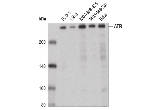 Monoclonal Antibody Positive Regulation of Dna Damage Response
