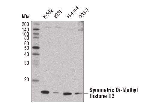 Monoclonal Antibody - Symmetric Di-Methyl Histone H3 (Arg8) (E1W5H) Rabbit mAb, UniProt ID P68431, Entrez ID 8350 #13939