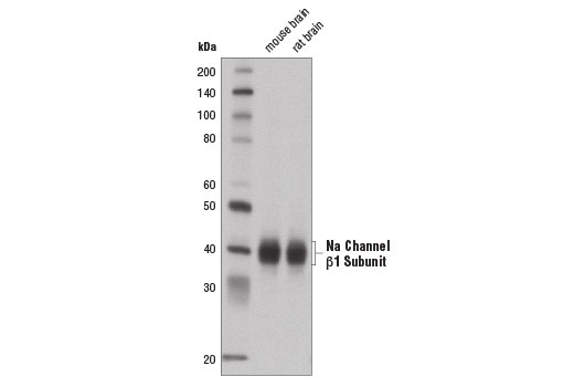 Monoclonal Antibody Western Blotting Sodium Channel Inhibitor Activity