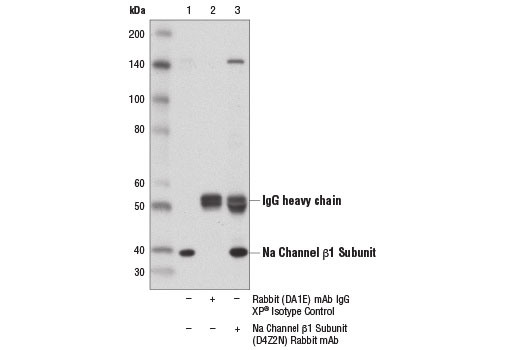 Immunoprecipitation of Na Channel β1 Subunit from MCF7 cell extracts using Rabbit (DA1E) mAb IgG XP<sup>®</sup> Isotype Control #3900 (lane 2) or Na Channel β1 Subunit (D4Z2N) Rabbit mAb (lane 3). Lane 1 is 10% input. Western blot analysis was performed using Na Channel β1 Subunit</p><p>(D4Z2N) Rabbit mAb</p><p>.