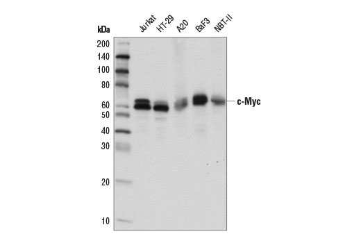 Western blot analysis of extracts from various cell lines using c-Myc/N-Myc (D3N8F) Rabbit mAb.