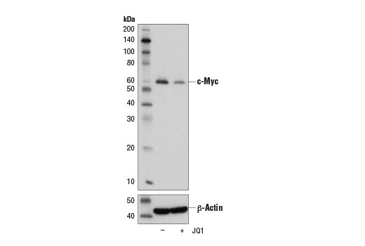Western blot analysis of extracts from HT-29 cells, untreated (-) or treated with JQ1 (1 μM; 72 hr; +), using c-Myc/N-Myc (D3N8F) Rabbit mAb (upper) and β-Actin (D6A8) Rabbit mAb #8457 (lower). As expected, the BET bromodomain inhibitor JQ1 inhibits c-Myc expression.