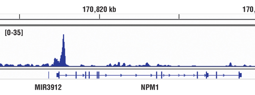 Chromatin immunoprecipitations were performed with cross-linked chromatin from Daudi cells and c-Myc/N-Myc (D3N8F) Rabbit mAb, using SimpleChIP<sup>®</sup> Enzymatic Chromatin IP Kit (Magnetic Beads) #9003. DNA Libraries were prepared using SimpleChIP<sup>®</sup> ChIP-seq DNA Library Prep Kit for Illumina<sup>®</sup> #56795. The figure shows binding across NPM1, a known target gene of c-Myc (see additional figure containing ChIP-qPCR data). For additional ChIP-seq tracks, please download the product data sheet.