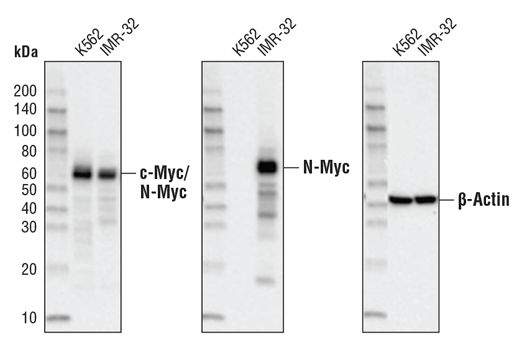 Western blot analysis of extracts from K562 [c-Myc (+) / N-Myc (-)] and IMR-32 [c-Myc (-) / N-Myc (+)] cell lines using cMyc/N-Myc (D3N8F) Rabbit mAb(left), N-Myc (D1V2A) Rabbit mAb#84406 (middle), or β-Actin (13E5) Rabbit mAb #4970 (right).