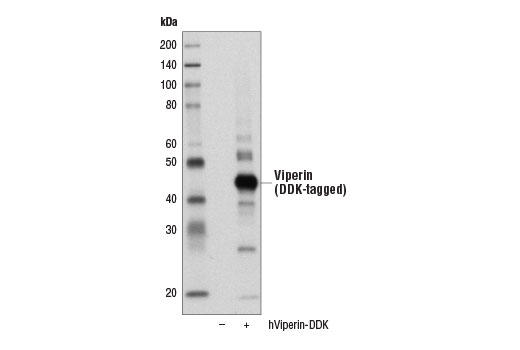 Western blot analysis of extracts from 293T cells, mock transfected (-) or transfected with a construct expressing DDK-tagged full-length human Viperin (hViperin-DDK; +), using viperin (D5T2X) Rabbit mAb.