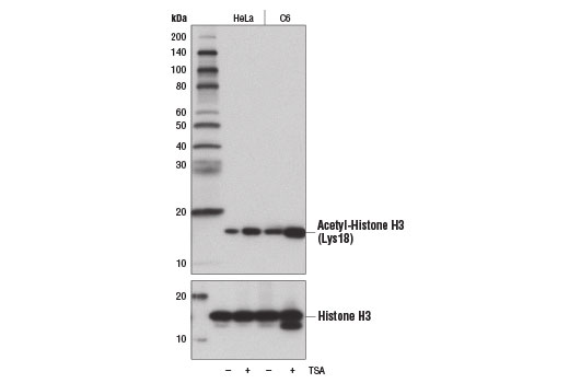 Western blot analysis of extracts from HeLa and C6 cells, untreated (-) or treated (+) with Trichostatin A (TSA) #9950 (1 μM, 18 hr), using Acetyl-Histone H3 (Lys18) (D8Z5H) Rabbit mAb (upper) and Histone H3 (D1H2) XP<sup>®</sup> Rabbit mAb #4499 (lower).
