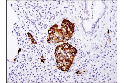Immunohistochemical analysis of paraffin-embedded human pancreas using PC2 (D1E1S) XP<sup>®</sup> Rabbit mAb.