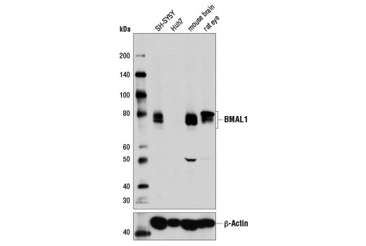 Western blot analysis of extracts from various cell lines and tissues using BMAL1 (D2L7G) Rabbit mAb (upper) and β-Actin (D6A8) Rabbit mAb #8457 (lower).