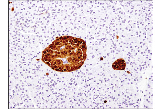 Immunohistochemical analysis of paraffin-embedded normal human pancreas using Secretagogin (D4V1Y) XP<sup>®</sup> Rabbit mAb.