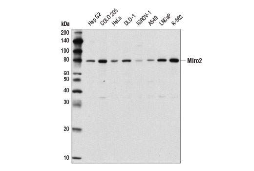 Polyclonal Antibody Gtpase Activity