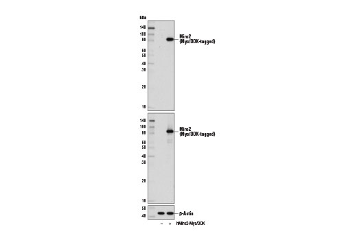 Western blot analysis of extracts from 293 cells, mock transfected (-) or transfected with a construct expressing Myc/DDK-tagged full-length human Miro2 protein (hMiro2-Myc/DDK; +), using Miro2 Antibody (upper), Myc-Tag (71D10) Rabbit mAb #2278 (middle), and β-Actin (D6A8) Rabbit mAb #8457 (lower).