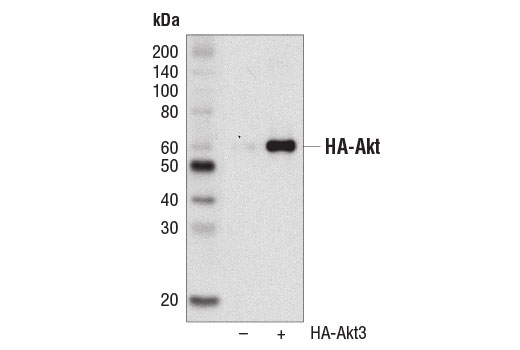 Monoclonal Antibody - HA-Tag (C29F4) Rabbit mAb (HRP Conjugate) - 100 µl #14031 - Related Products