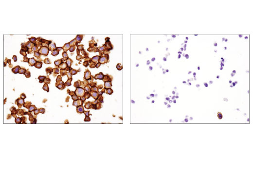 Immunohistochemical analysis of paraffin-embedded LNCaP (left) and NCI-H69 (right) cell pellets using B7-H3 (D9M2L) XP<sup>®</sup> Rabbit mAb.