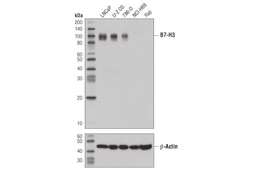 Western blot analysis of extracts from various cell lines using B7-H3 (D9M2L) XP<sup>®</sup> Rabbit mAb (upper) and β-Actin (D6A8) Rabbit mAb #8457 (lower).