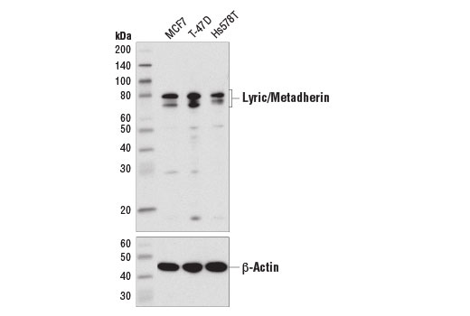 Western blot analysis of extracts from various cell lines using Lyric/Metadherin (D5Y8R) XP<sup>®</sup> Rabbit mAb (upper) and β-Actin (D6A8) Rabbit mAb #8457 (lower).