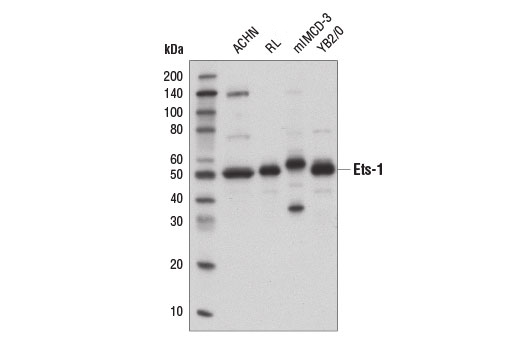 Western blot analysis of extracts from various cell lines using ETS-1 (D8O8A) Rabbit mAb.