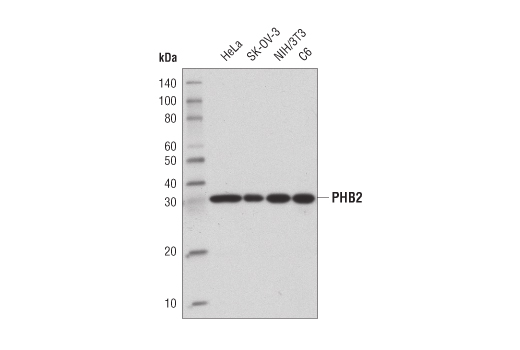 Western blot analysis of extracts from various cell lines using PHB2 (E1Z5A) Rabbit mAb.