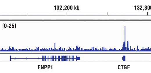 Chromatin immunoprecipitations were performed with cross-linked chromatin from NCI-H2052 cells and YAP (D8H1X) XP<sup>®</sup> Rabbit mAb, using SimpleChIP<sup>®</sup> Enzymatic Chromatin IP Kit (Magnetic Beads) #9003. DNA Libraries were prepared using SimpleChIP<sup>®</sup> ChIP-seq DNA Library Prep Kit for Illumina<sup>®</sup> #56795. The figure shows binding across CTGF, a known target gene of YAP (see additional figure containing ChIP-qPCR data). For additional ChIP-seq tracks, please download the product data sheet.