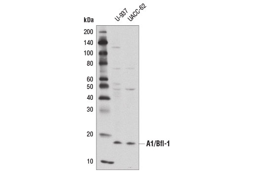 Western Blotting Image 2: A1/Bfl-1 (D1A1C) Rabbit mAb