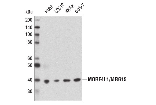 Western blot analysis of extracts from various cell lines using MORF4L1/MRG15 (D2Y4J) Rabbit mAb.