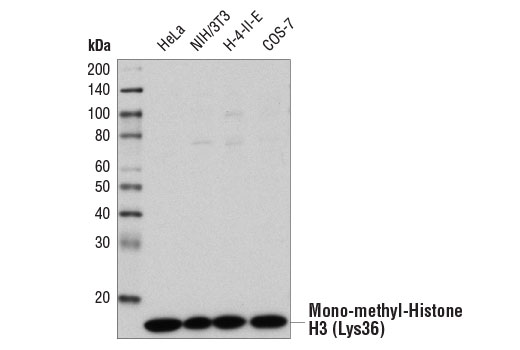 Image 22: Methyl-Histone H3 (Lys36) Antibody Sampler Kit