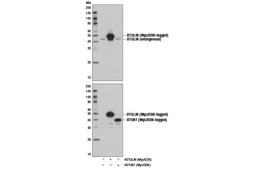 Polyclonal Antibody Negative Regulation Of Immune Response