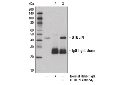 Immunoprecipitation of OTULIN from MCF7 cell extracts using Normal Rabbit IgG #2729 (lane 2) or OTULIN Antibody (lane 3). Lane 1 is 10% input. Western blot analysis was performed using OTULIN Antibody.