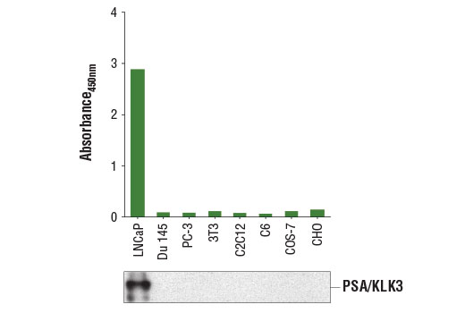 Figure 1. PSA/KLK3 protein is expressed in LNCaP cells but absent in other cell lines, as detected using the PathScan<sup>®</sup> Total PSA/KLK3 Sandwich ELISA Kit #14119. The absorbance readings at 450 nm are shown in the top figure, while the corresponding western blot using PSA/KLK3 (D6B1) XP<sup>®</sup> Rabbit mAb #5365 is shown in the bottom figure.