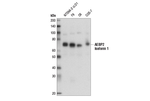 Western blot analysis of extracts from various cell lines using AEBP2 (D7C6X) Rabbit mAb.