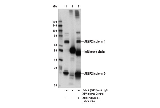 Immunoprecipitation of AEBP2 from NCCIT cell extracts using Rabbit (DA1E) mAb IgG XP<sup>®</sup> Isotype Control #3900 (lane 2) or AEBP2 (D7C6X) Rabbit mAb (lane 3). Lane 1 is 10% input. Western blot analysis was performed using AEBP2 (D7C6X) Rabbit mAb.
