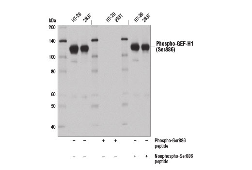 Western blot analysis of extracts from HT-29 and 293T cells using Phospho-GEF-H1 (Ser886) (E1L6D) Rabbit mAb in the presence of a nonphosphorylated synthetic peptide or a synthetic peptide phosphorylated at Ser886.