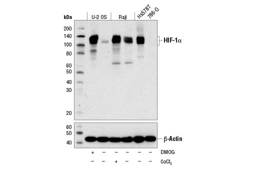 Monoclonal Antibody Chromatin IP Response to Oxidative Stress