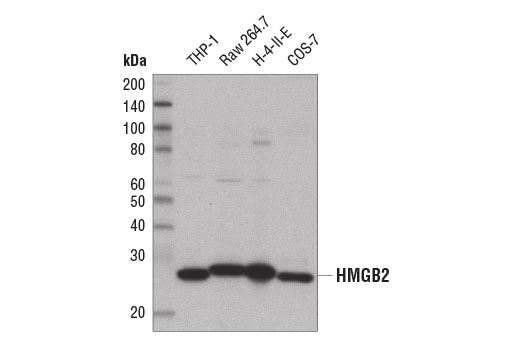 Western blot analysis of extracts from various cell lines using HMGB2 (D1P9V) Rabbit mAb.