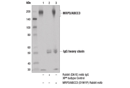 Immunoprecipitation Image 1: MRP3/ABCC3 (D1W1P) Rabbit mAb