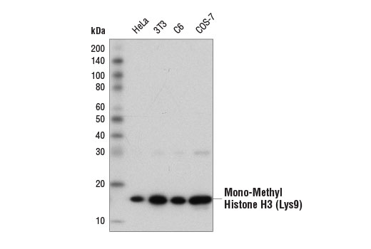 Western blot analysis of extracts from various cell lines using Mono-Methyl-Histone H3 (Lys9) (D1P5R) Rabbit mAb.