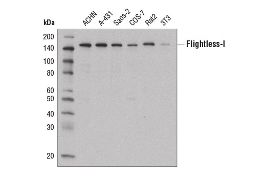 Western blot analysis of extracts from various cell lines using Flightless-I Antibody.