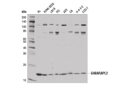 Western blot analysis of extracts from various cell lines using GABARAPL2 (D1W9T) Rabbit mAb.
