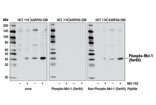 Western blot analysis of extracts from HCT 116 and KARPAS-299 cells, untreated (-) or treated with MG-132 #2194 (10 μM, overnight; +) using Phospho-Mcl-1 (Ser64) Antibody (left). Phospho-specificity is demonstrated by antibody competition with peptides specific for phospho-Mcl-1 (Ser64) (middle) or non-phospho-Mcl-1 (Ser64) (right).