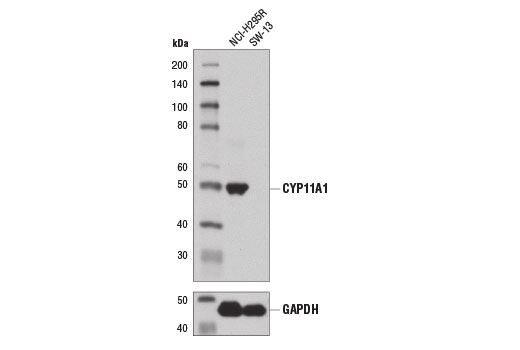Western blot analysis of extracts from NCI-H295R (positive) and SW-13 (negative) cells using CYP11A1 (D8F4F) Rabbit mAb (upper) and GAPDH (D16H11) XP<sup>®</sup> Rabbit mAb #5174 (lower).