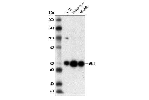Monoclonal Antibody Immunoprecipitation Akt3