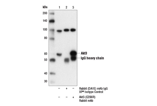 Immunoprecipitation of Akt3 from A172 cell extracts using Rabbit (DA1E) mAb IgG XP<sup>®</sup> Isotype Control #3900 (lane 2) or Akt3 (E2B6R) Rabbit mAb (lane 3). Lane 1 is 10% input. Western blot analysis was performed using Akt3 (E2B6R) Rabbit mAb.