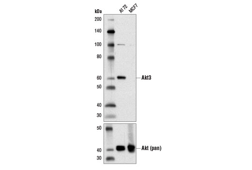 Western blot analysis of extracts from A172 and MCF7 cells using Akt3 (E2B6R) Rabbit mAb (upper) and Akt (pan) (C67E7) Rabbit mAb #4691 (lower).