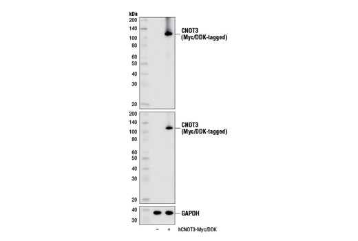 Western blot analysis of extracts from 293 cells, mock transfected (-) or transfected with a construct expressing Myc/DDK-tagged full-length human CNOT3 (hCNOT3-Myc/DDK; +), using CNOT3 (E1L9S) Rabbit mAb (upper), DYKDDDDK Tag (9A3) Mouse mAb #8146 (middle), or GAPDH (D16H11) XP<sup>®</sup> Rabbit mAb #5174 (lower).